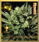 Greenhouse Bubba Kush buy feminised cannabis strains uk